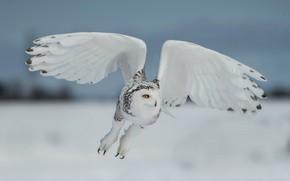 Picture winter, field, the sky, look, snow, flight, close-up, pose, owl, bird, white, polar, snowy owl, …