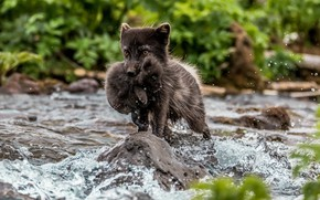 Picture river, the transition, cub, Ford, Fox, Polar Fox