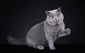 Picture cat, cat, sitting, British, foot, Studio