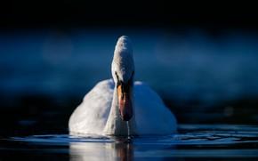 Picture water, bird, Swan