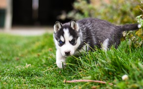 Picture grass, pose, background, dog, baby, yard, puppy, walk, face, husky, Siberian husky