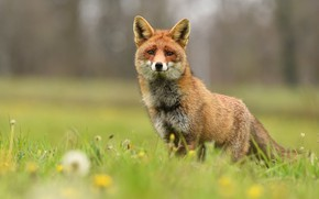 Picture summer, grass, look, face, pose, background, glade, Fox, dandelions