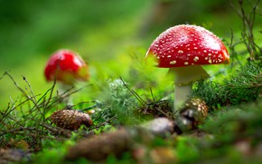 Picture forest, glade, mushrooms, Amanita, needles, bumps, bokeh