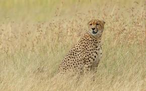 Picture Cheetah, sitting, grass, field