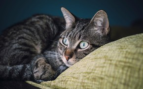 Picture cat, eyes, cat, look, face, the dark background, grey, portrait, lies, pillow, striped, Kote, handsome