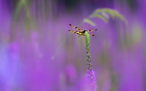 Picture macro, flowers, dragonfly, stem, bokeh, lilac background, nasekomoe