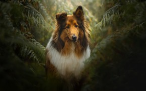 Picture leaves, the dark background, thickets, portrait, dog, fern, collie