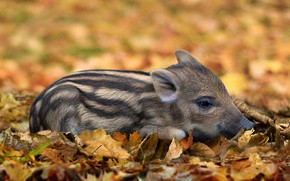 Picture autumn, look, face, leaves, pose, background, glade, foliage, baby, pig, lies, boar, striped, cub, pig, …