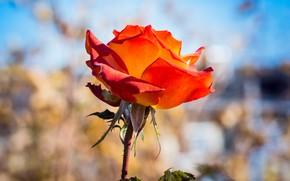 Picture flower, background, blue, rose, Bud, red, scarlet, bokeh