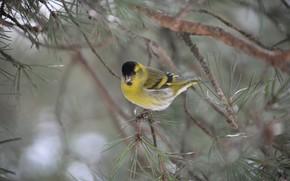 Picture bird, Chizh, pine branch