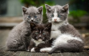Picture look, cats, pose, kitty, grey, background, together, black, Board, kittens, three, kitty, kids, company, grey, …