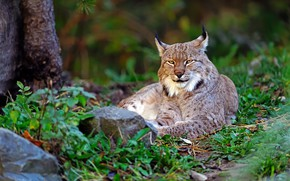 Picture greens, summer, grass, look, nature, pose, stones, stay, lies, beauty, lynx, wild cat