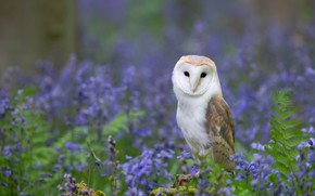 Picture flowers, owl, bird, glade, lilac, the barn owl