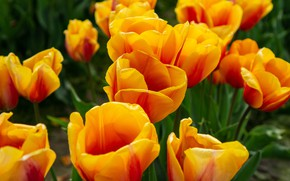 Picture flowers, bright, spring, tulips, orange, buds, a lot