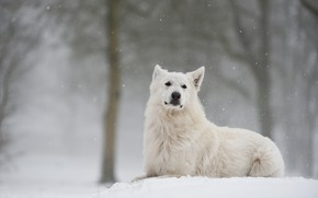 Picture winter, forest, look, snow, dog, Swiss shepherd dog
