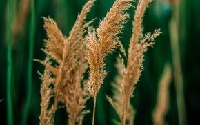 Picture grass, cane, bokeh