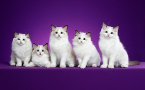 Picture look, cats, pose, background, lilac, muzzle, kittens, white, a lot, Studio, ragdoll