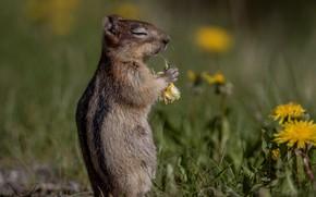 Picture flowers, Breakfast, dandelions, bokeh, rodent, Chipmunk