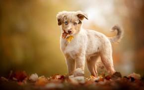 Picture autumn, look, leaves, background, dog, baby, puppy, Australian shepherd, Aussie