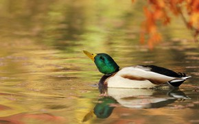Picture leaves, reflection, bird, branch, duck, pond, swimming