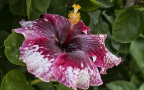 Picture macro, hibiscus, motley