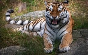 Picture grass, tiger, pose, mouth, lies