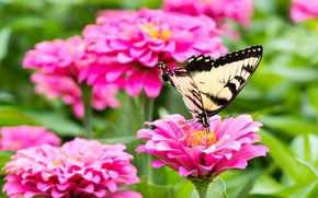 Picture flowers, butterfly, wings, zinnia