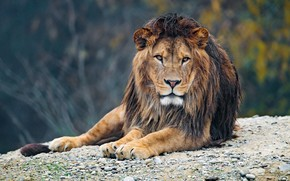 Picture look, face, branches, nature, pose, pebbles, stones, background, portrait, Leo, paws, mane, lies, zoo, handsome, …