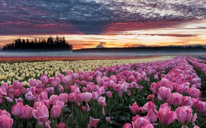 Picture field, flowers, dawn, morning, Oregon, tulips, plantation