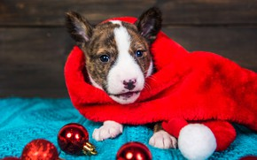 Picture look, balls, red, pose, holiday, balls, Board, portrait, dog, baby, Christmas, cute, puppy, red, New …