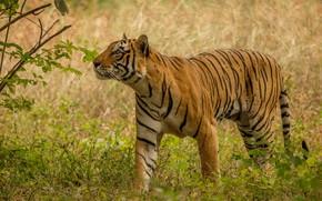 Picture tiger, predator, wild cat