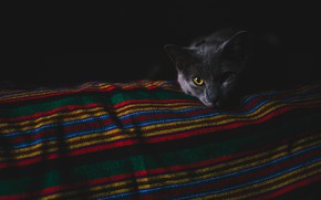 Picture cat, eyes, cat, look, face, strips, darkness, the dark background, grey, blanket, bed, twilight