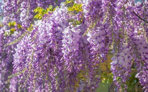 Picture flowering, a lot, inflorescence, lilac, Wisteria, Wisteria, hanging