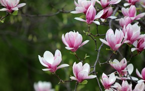 Picture flowers, branches, spring, pink, flowering, green background, Magnolia