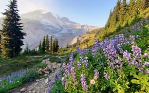 Picture trees, flowers, mountains, path, lupins, Mount Rainier, The cascade mountains, Washington State, Cascade Range, Washington, …