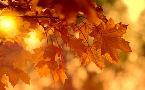Picture autumn, leaves, the sun, light, branches, bright, nature, background, mood, foliage, bright, maple, red, orange, ...