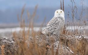Picture winter, look, nature, background, blue, owl, bird, beauty, log, sitting, polar, snowy owl, Arctic, blade