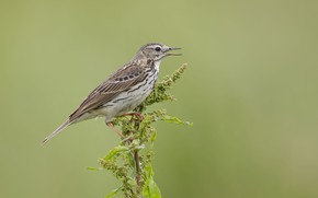 Picture bird, branch, meadow Pipit