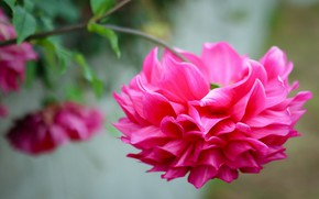 Picture flower, background, pink, Dahlia, bright