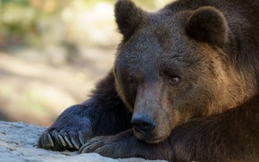 Picture look, face, close-up, nature, pose, portrait, paws, bear, bear, claws, lies, brown bear, brown