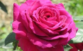 Picture Nature, Rose, Flower, Meduzanol ©, Summer 2018, Raspberry