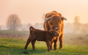 Picture field, baby, calf, Scottish cow