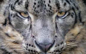 Picture look, portrait, predator, IRBIS, snow leopard