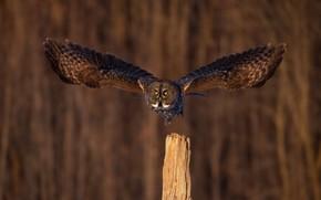 Picture flight, owl, bird, owl, wingspan
