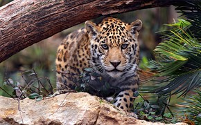 Picture look, face, leaves, nature, stones, tree, baby, Jaguar, cub, wild cat, sneaks, teen