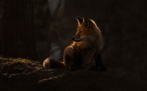 Picture forest, light, Fox, Fox, Fox
