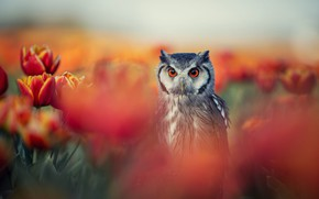 Picture flowers, nature, owl, bird, spring, tulips