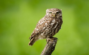 Picture look, bird, claws, little owl