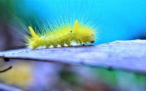 Picture caterpillar, background, hairs