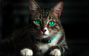 Picture cat, mustache, look, paws, muzzle, green eyes